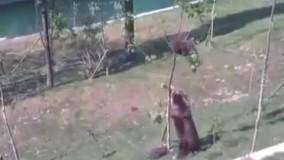 ماده خرسی که بچه ش رفته بالای درخت و به هیچ زبونی پایین نمیاد