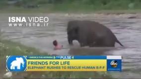بچه فیلی که با دیدن انسانی که او را اب میبرد به نجات او میشتابد