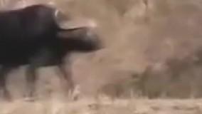 زیبا ترین ویدئو از حیات وحش ،وقتی اتحاد باشه شیرهم باشه فرارمیکنه!