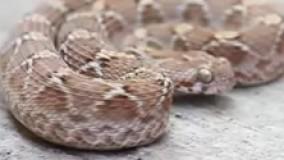مار جعفری سندی(SAW-SCALED VIPER) - فانی کول