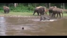 حمله فیل به مرد شناگر داخل آب