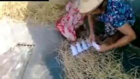 روش تهیه کباب موش در ویتنام (هشدار:حال به هم زن)