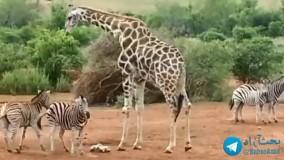 شکار صحنه ای جالب از حیات وحش!  واکنش گورخرها به ظلم زرافه که اومده غذاشون رو بخوره