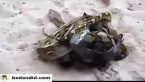جدال نفسگیر خفاش غولپیکر با مار پیتون
