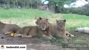 ویدیو جالب از زمانی که شیر از توریست ها در باغ وحش زهرچشم میگیرد و آنها را تا مرز سکته میکشاند!