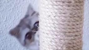 هرمان،گربه چشم قلوه ای همیشه شگفت زده
