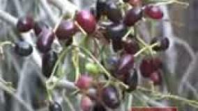 جم یا جمبو میوه کمتر شناخته شده از سیستان و بلوچستان