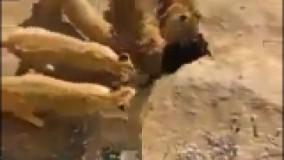 خورده شدن یک بز در باغ وحش در چند ثانیه توسط شیر ها