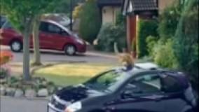 قطع شدن سر گربه هنگامی که سرش را در ماشین فرو میبرد