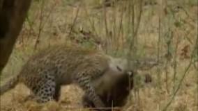 شکار میمون ماده بچه دار توسط یوزپلنگ و پشیمان شدن یوزپلنگ بعد از شکار میمون و محبت به بچه اش