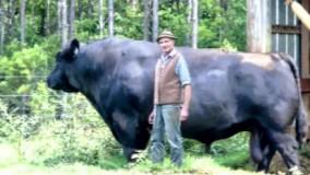 بزرگترین گاوهای نر جهان که باور کردنشان سخت است