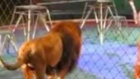 در سیرک نمایش شیر به خوبی پیش میرفت تا اینکه یکی از شیرها یاغی میشود...
