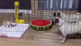 آخه سگ هم اینقدر ترسو!!!