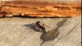 گاهی پیش میاید که مورچهای دراثر خوردن قطرات الکلی در طبیعت مست میشود در این صورت همراهش او را به آش