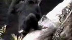میمون بی ادب