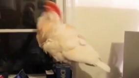 چرخش تند وتیز گردن توسط این طوطی !!!
