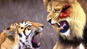 نبرد ببر و شیر