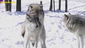 رفتارهاي جالب گرگها هنگام جفتگيري️️️