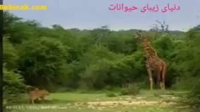 شکار زرافه توسط شیرها