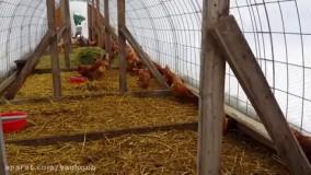 نگهداری از مرغ بومی در قفس توری در فصل زمستان