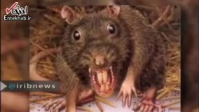 فیلم/ موش های آدم خوار از شایعه تا واقعیت