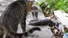 جنگ مار کبری و گربه