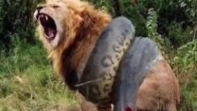 نبرد مرگ و زندگی مار آناکوندا و شیر (حیات وحش) گاومیش حمله حیوانات وحشی و کفتار-مار کبرا