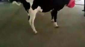 گاو خیــلی وحشی برای آماده کردن ذبح