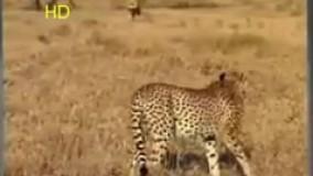 شکار قدرتمندانه سلطان جنگل / شیر