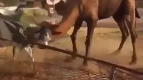 دعوای شتر با الاغ