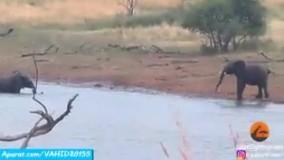 شکار پرنده غول پیکر توسط روباه مکار ...