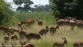 شکار زیرکانه آهو توسط یوز پلنگ