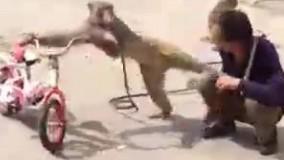 میمون مبارز و معتاد!
