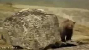 رازبقا-كلیپ دیدنی جدال شیر با بچه خرس