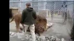 وحشتناک ترین و بزرگترین شیر نر دنیا