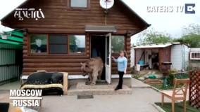زندگی مسالمتآمیز با خرس 33ساله!