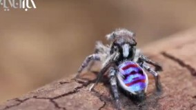رقص عنکبوت طاووسی نر برای جلب توجه عنکبوت ماده