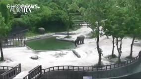 چگونه فیلها یک بچه فیل را از خطر غرق شدن نجات دادند؟