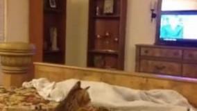 گربه هنگ کرد