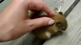 سنجاب خونگی و دستی