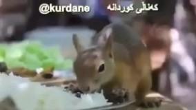 سنجابی که هم غذا شده با پیشمرگ های کد