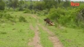 حمله پلنگ به گاومیش
