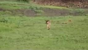 رفتار مادرانه یک شیر با بچه گوزن تنهای گمشده