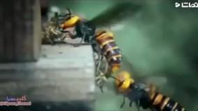 حمله زنبورهای سرخ به زنبورهای عسل