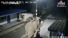 فیلم/ فیل بازیگوش از مرز چین وارد خاک لائوس شد!