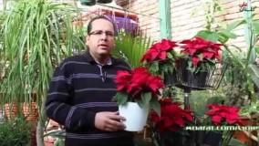آشنایی و راهنمای نگهداری از گیاه بنت قنسول (گل کریسمس)