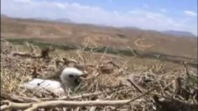 مستند عقاب مار خور در ایران بیجارگروس کردستان