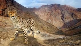 مستند «اشباح بیابان» يوزپلنگ ايراني