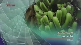 مستند دیدنی درباره تولید موز ایرانی در چابهار - مکرانی موز