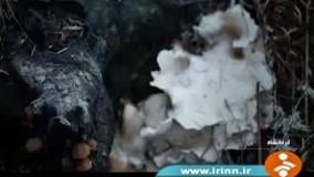 پنج نفر با قارچ سمی در استان های کرمانشاه، کردستان، لرستان، آذربایجان غربی و زنجان جان باخته و 277 نفر مسموم شده اند